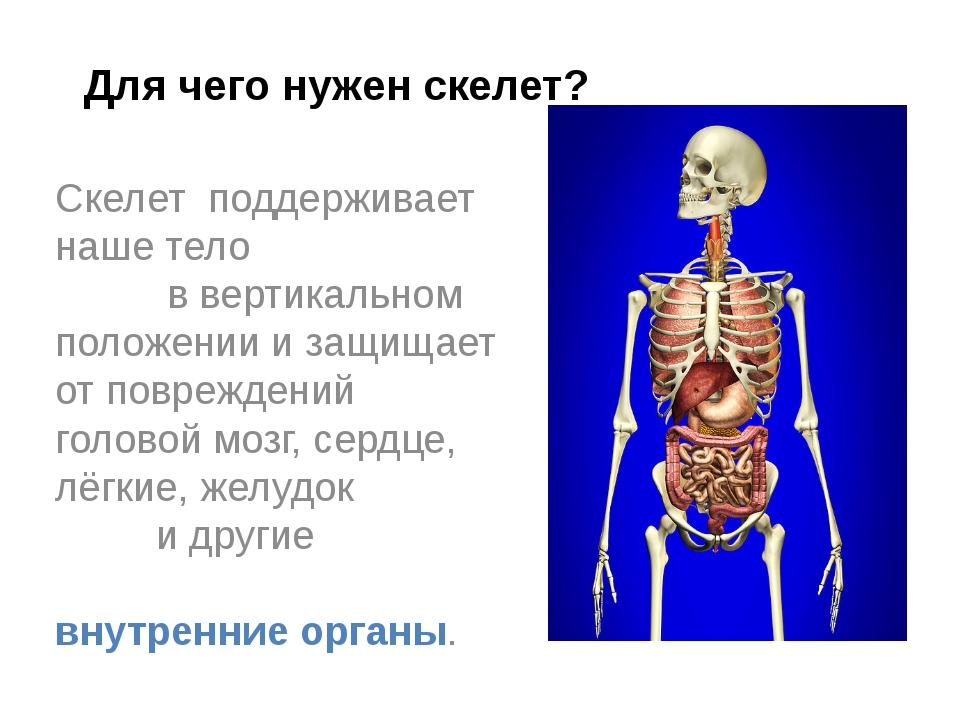 Скелет поддерживает наше тело в вертикальном положении и защищает от поврежде...