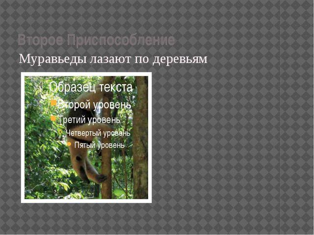 Второе Приспособление Муравьеды лазают по деревьям