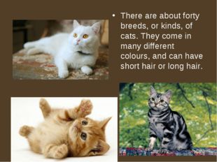 There are about forty breeds, or kinds, of cats. They come in many different