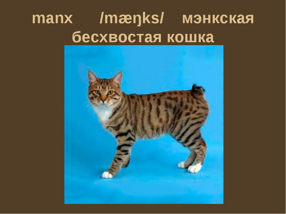 manx /mæŋks/ мэнкская бесхвостая кошка