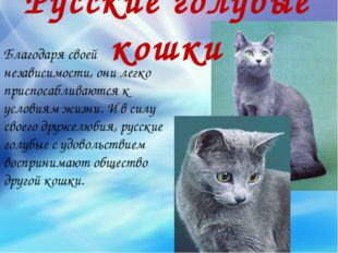 Русские голубые кошки Благодаря своей независимости, они легко приспосабливаю
