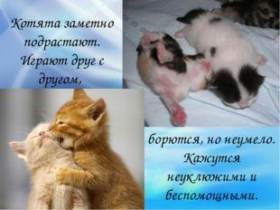 Котята заметно подрастают. Играют друг с другом, борются, но неумело. Кажутся