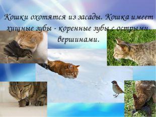 Кошки охотятся из засады. Кошка имеет хищные зубы - коренные зубы с острыми в