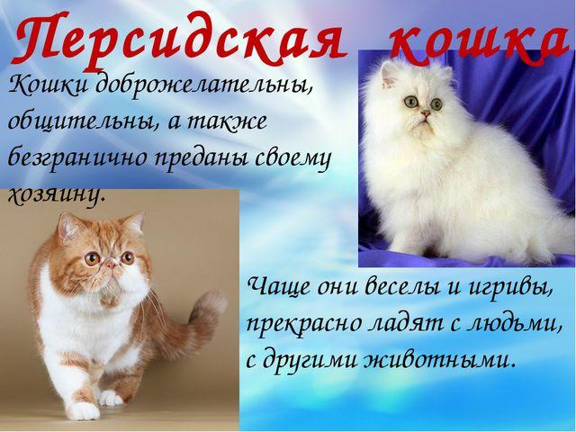 Персидская кошка Кошки доброжелательны, общительны, а также безгранично преда...