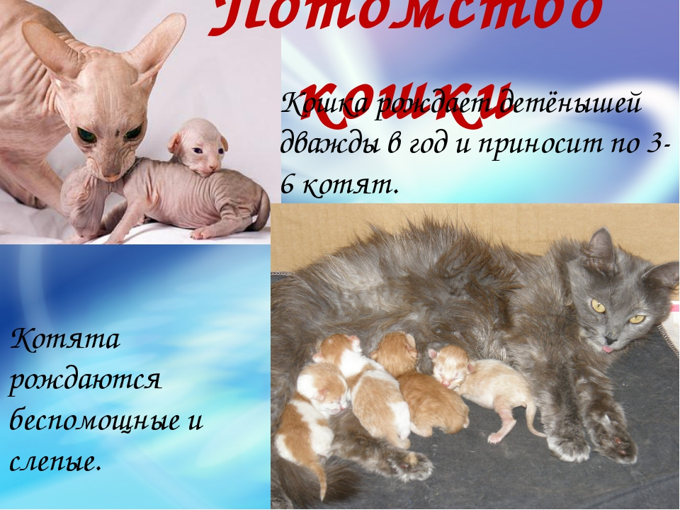 Потомство кошки Котята рождаются беспомощные и слепые. Кошка рождает детёныше...