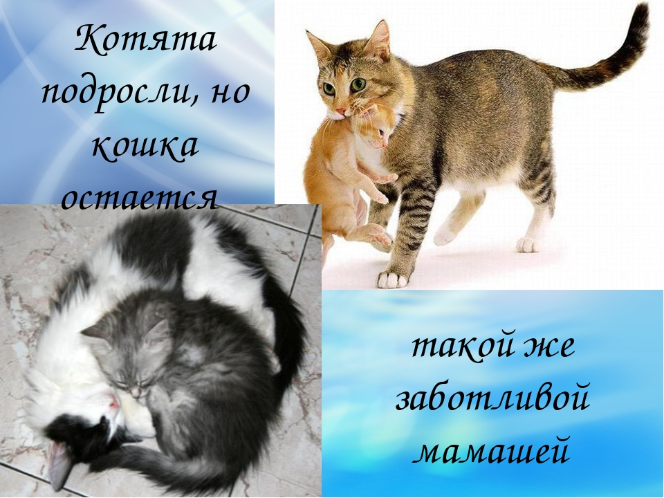 такой же заботливой мамашей Котята подросли, но кошка остается