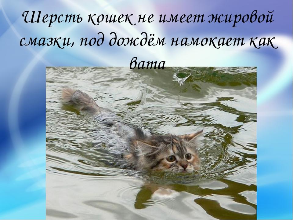Шерсть кошек не имеет жировой смазки, под дождём намокает как вата