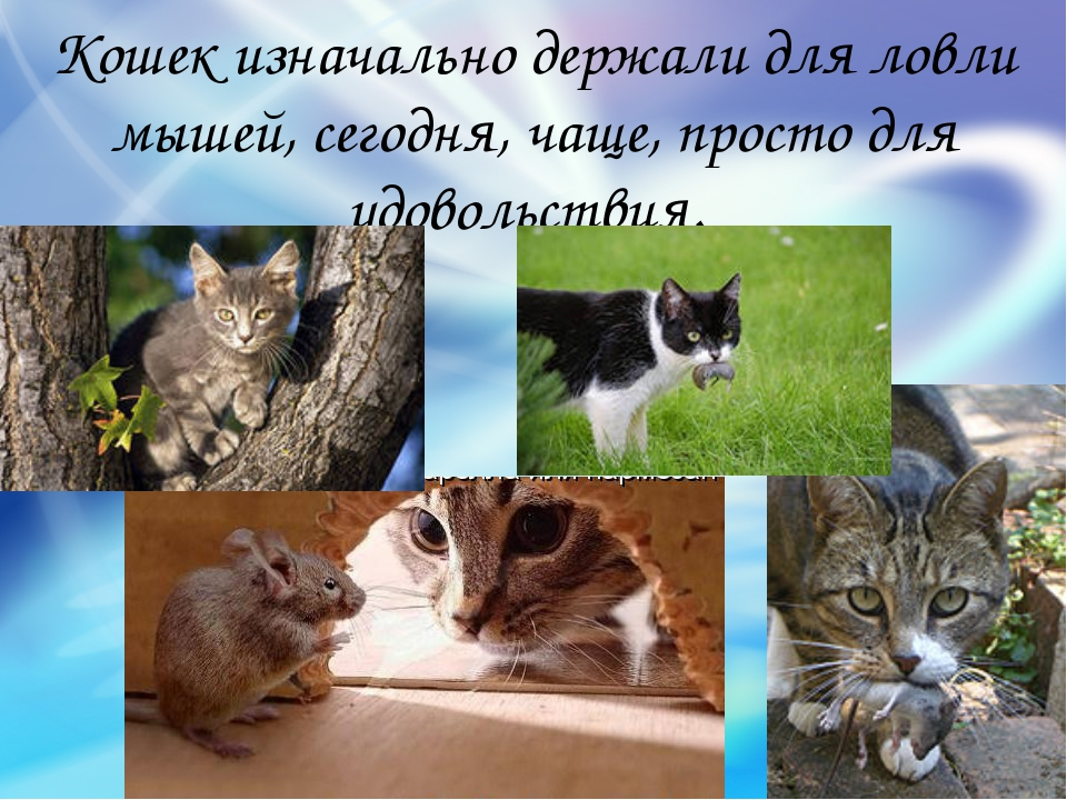 Кошек изначально держали для ловли мышей, сегодня, чаще, просто для удовольст...