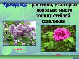 сирень роза