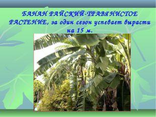БАНАН РАЙСКИЙ-ТРАВЯНИСТОЕ РАСТЕНИЕ, за один сезон успевает вырасти на 15 м.