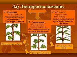 3а) Листорасположение. Очередное (от узла один лист) Листья расположены спира