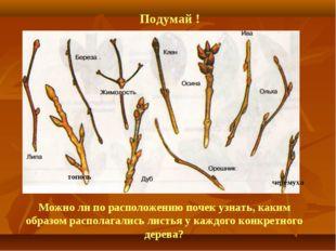Можно ли по расположению почек узнать, каким образом располагались листья у к