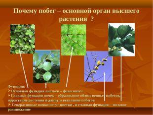 Функции: Основная функция листьев – фотосинтез Главные функции почек – образ