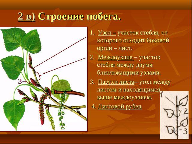 2 в) Строение побега. 1. Узел – участок стебля, от которого отходит боковой о...
