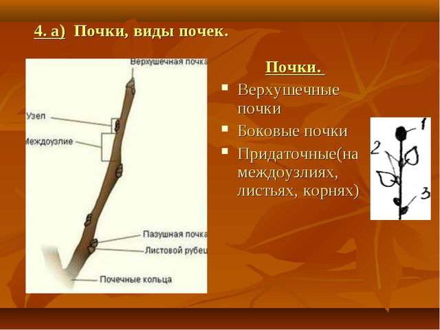 Почки. Верхушечные почки Боковые почки Придаточные(на междоузлиях, листьях, к...