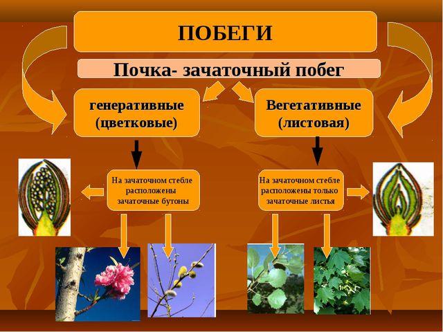Почка- зачаточный побег генеративные (цветковые) Вегетативные (листовая) На з...