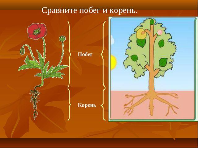 Сравните побег и корень. Побег Корень