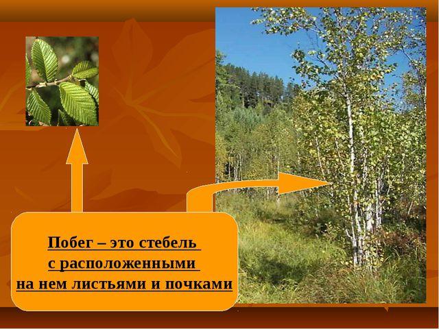 Побег – это стебель с расположенными на нем листьями и почками