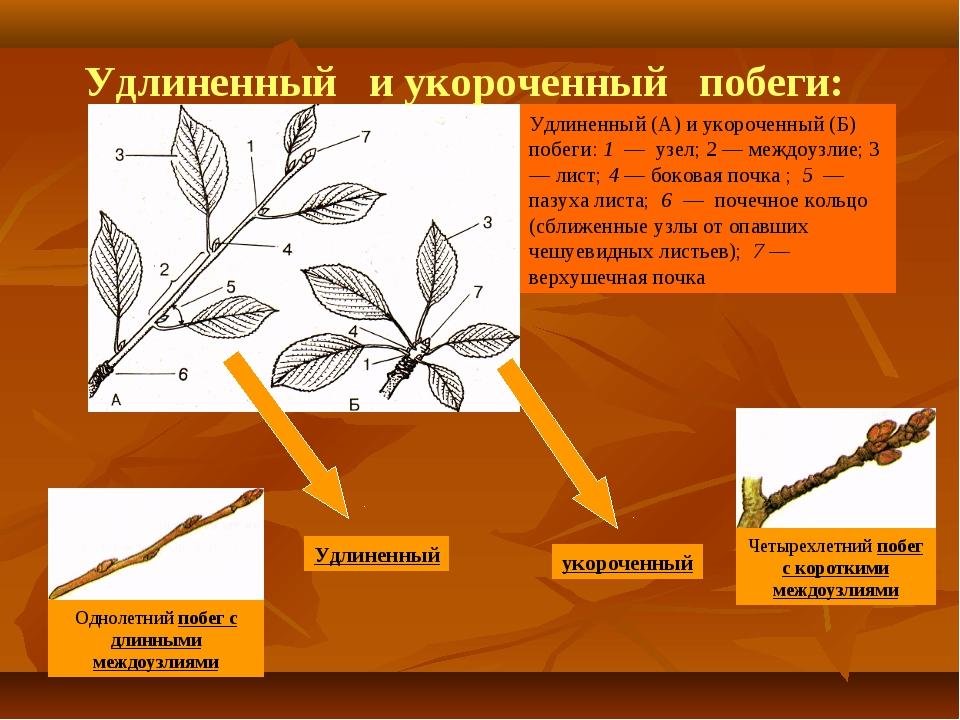 Удлиненный (А) и укороченный (Б) побеги: 1 — узел; 2 — междоузлие; 3 — лист;...