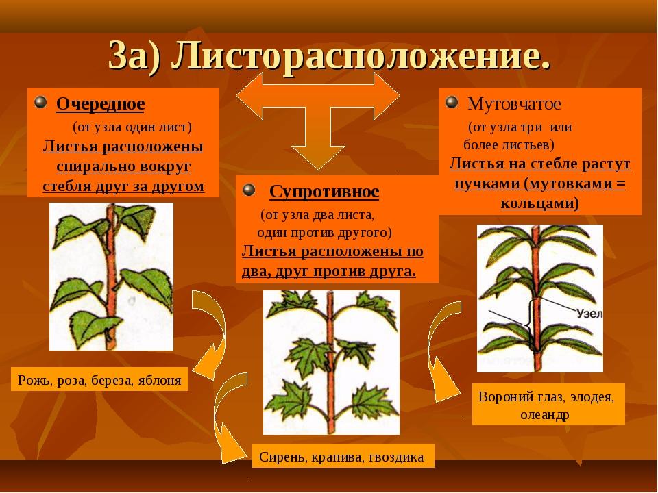 3а) Листорасположение. Очередное (от узла один лист) Листья расположены спира...
