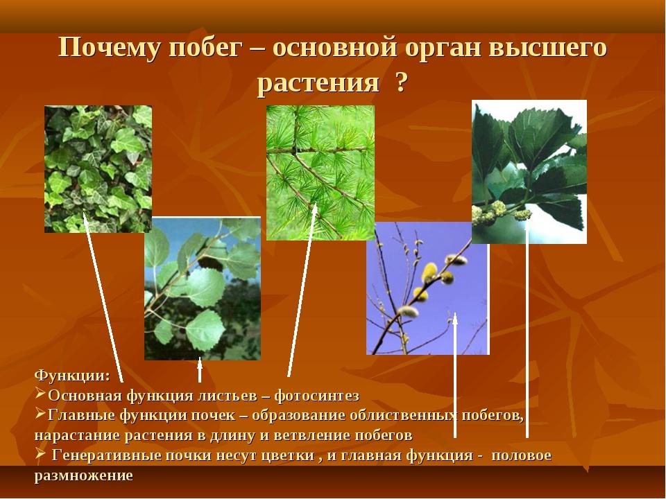 Функции: Основная функция листьев – фотосинтез Главные функции почек – образ...