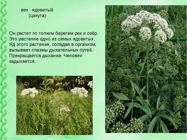 вех ядовитый (цикута) Он растет по топким берегам рек и озёр. Это растение о...