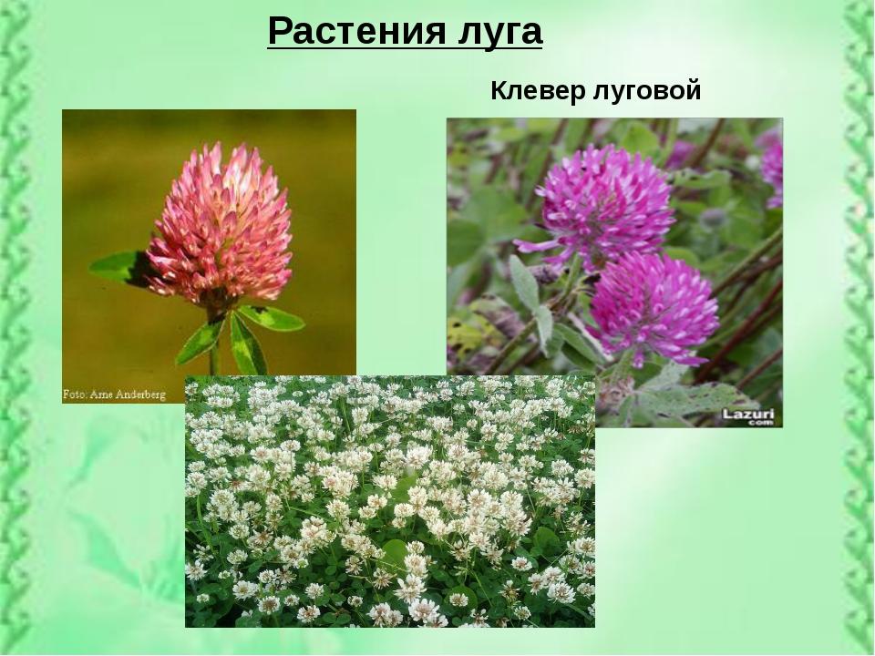 Растения луга Клевер луговой
