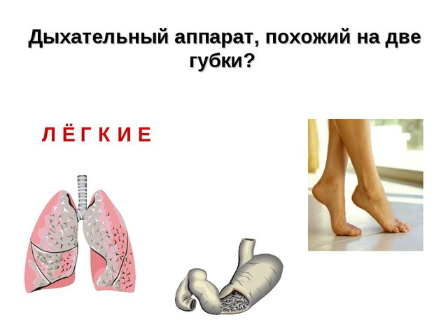 Л Ё Г К И Е Дыхательный аппарат, похожий на две губки?
