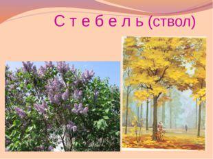 Стебли бывают разные: Стебли деревьев – очень высокие прочные стволы. У куста