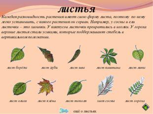 листья Каждая разновидность растения имеет свою форму листа, поэтому по нему