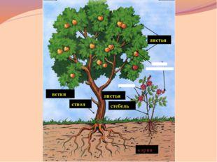 дуб Отгадайте, какое дерево потеряло эти листочки? « Красавец» - так перево