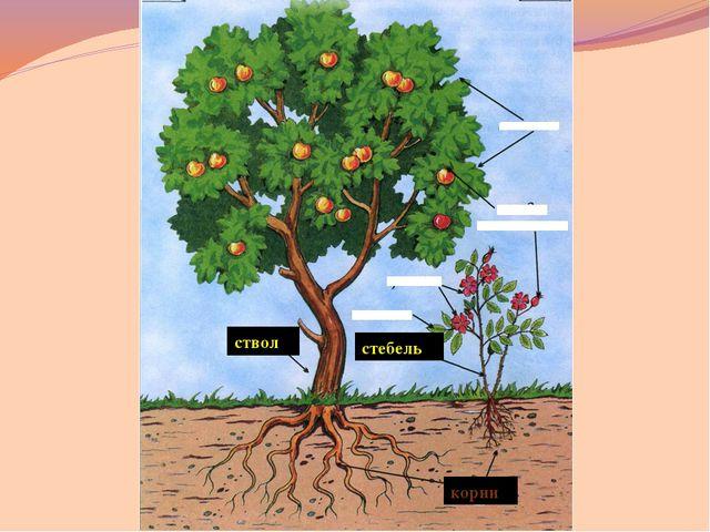 корни ствол стебель ветки