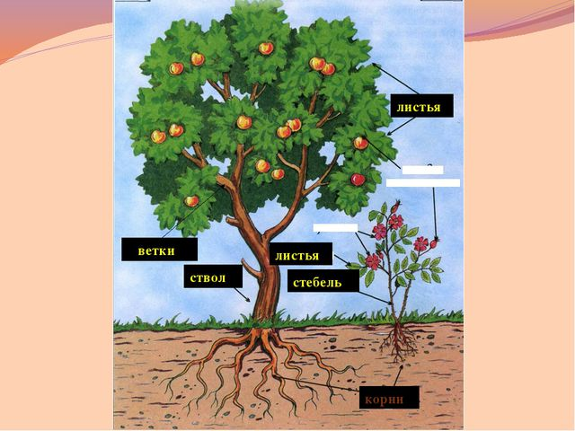 дуб Отгадайте, какое дерево потеряло эти листочки? « Красавец» - так перево...
