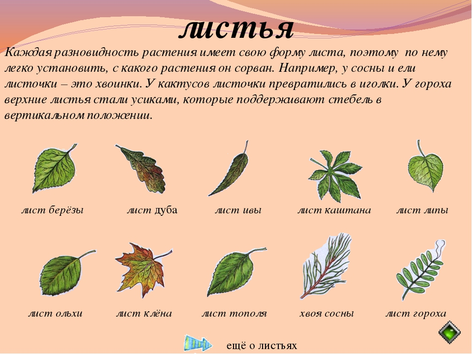 листья Каждая разновидность растения имеет свою форму листа, поэтому по нему...