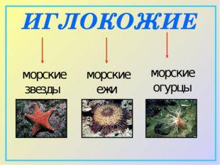 ИГЛОКОЖИЕ морские звезды морские ежи морские огурцы