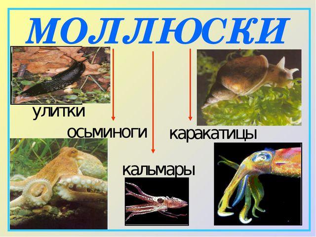 МОЛЛЮСКИ улитки слизни кальмары каракатицы осьминоги