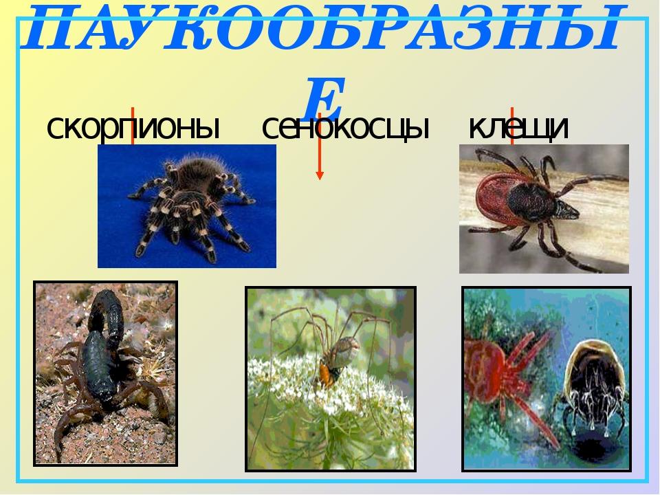 ПАУКООБРАЗНЫЕ скорпионы сенокосцы клещи