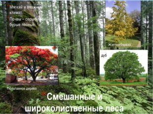 Смешанные и широколиственные леса Мягкий и влажный климат. Почвы – серые лесн