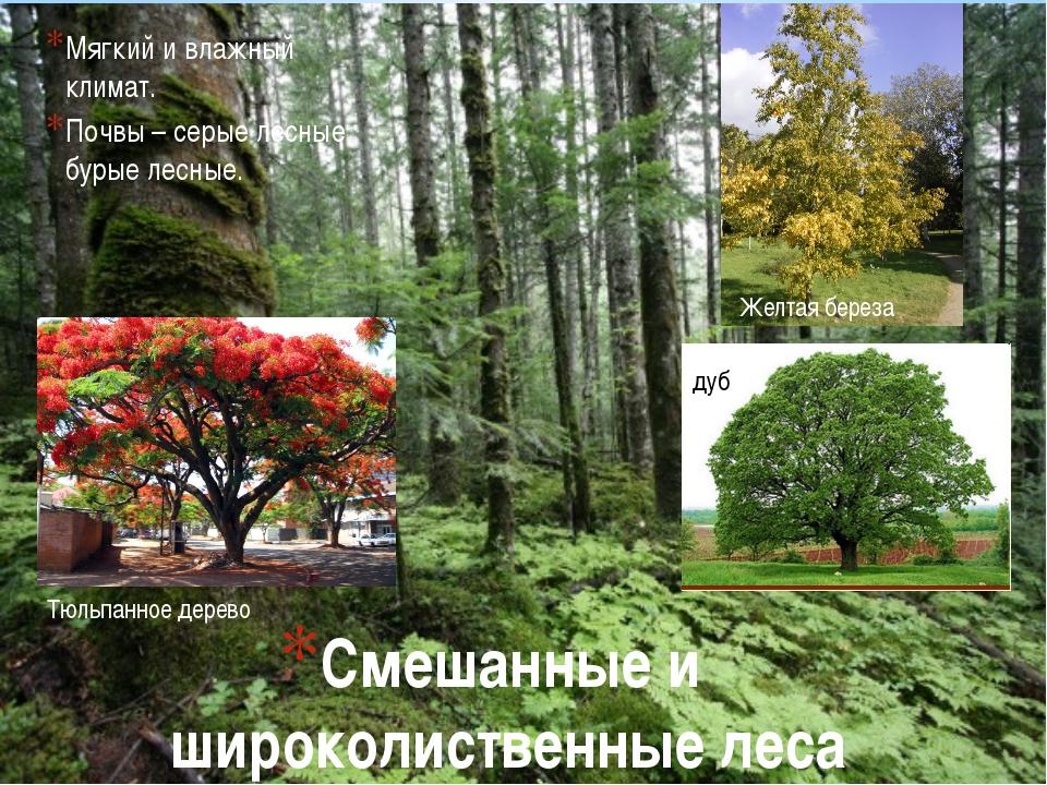 Смешанные и широколиственные леса Мягкий и влажный климат. Почвы – серые лесн...