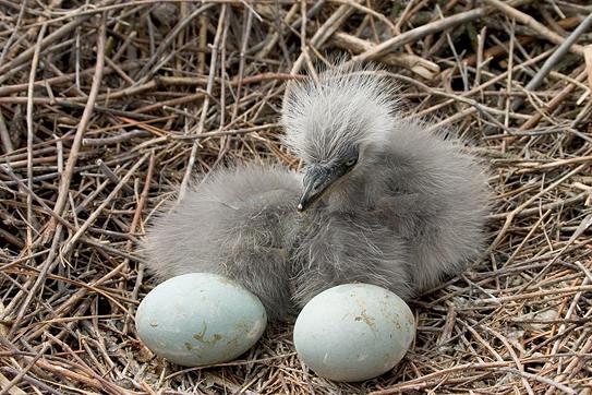 Фотография гнезда с птенцами и яйцами