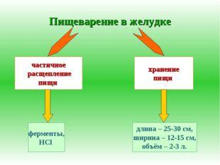Пищеварение в желудке частичное расщепление пищи хранение пищи ферменты, HCl