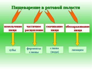 Пищеварение в ротовой полости измельчение пищи частичное расщепление обеззара