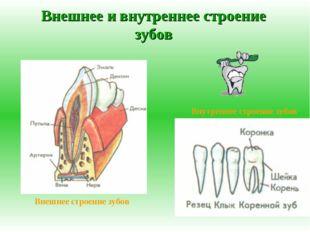 Внешнее и внутреннее строение зубов Внешнее строение зубов Внутреннее строени