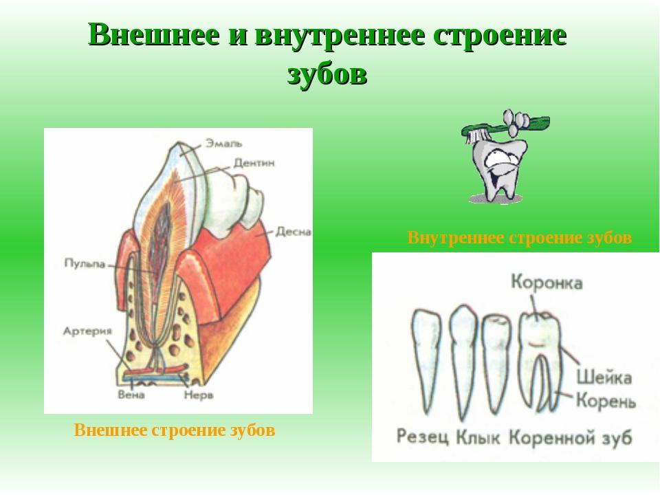 Внешнее и внутреннее строение зубов Внешнее строение зубов Внутреннее строени...