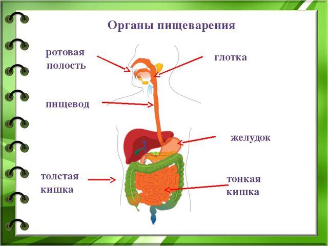 Органы пищеварения ротовая полость желудок глотка пищевод толстая кишка тонка...