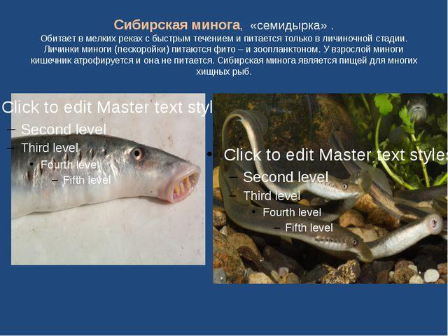Сибирская минога, «семидырка» . Обитает в мелких реках с быстрым течением и п...