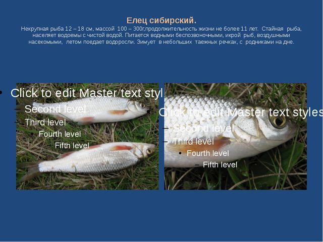 Елец сибирский. Некрупная рыба 12 – 18 см, массой 100 – 300г,продолжительност...