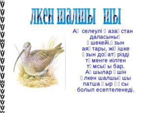 Ақ селеулі Қазақстан даласының әшекейі.Ұзын аяқтары, жіңішке ұзын доғатәрізді