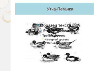 Утка-Пеганка
