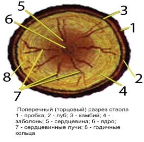 Строение древесины CASTLE.PRI.EE